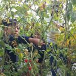 子供の収穫