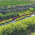 露地の野菜