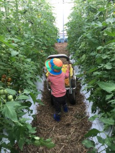 トマト収穫201807